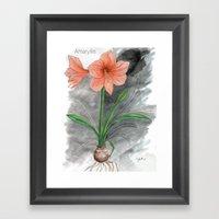 Amaryllis Framed Art Print