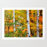 Birch Trees and Autumn Colors Art Print