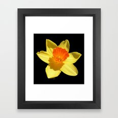 Spring Daffodil Isolated On Black Framed Art Print