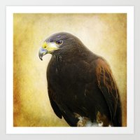 A Harris Hawk Art Print