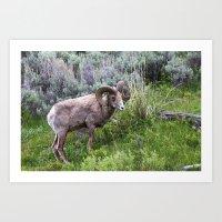 Big Horn Ram Art Print
