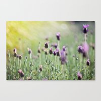 Lavender In Summer Light Canvas Print