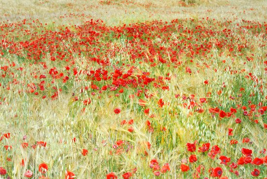 windy poppies at the fields Art Print