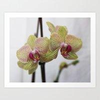 Orchids VIII Art Print