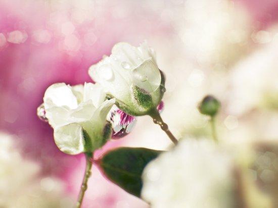 BABY'S BREATH - little white wedding roses Art Print