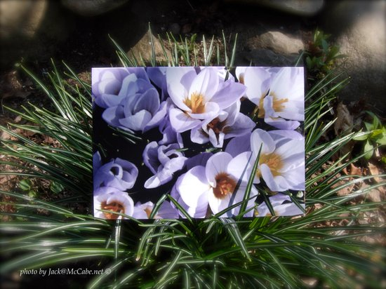 Conjuring the Crocuses in March  Art Print