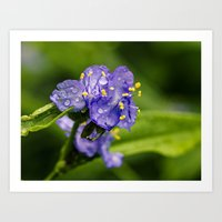 spiderwort with raindrops Art Print