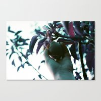 Backyard Pear Canvas Print