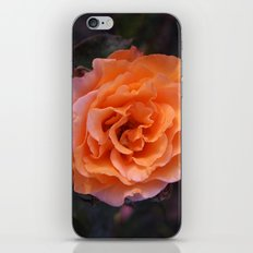 Holland Park Rose iPhone & iPod Skin