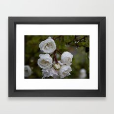 white miniature roses Framed Art Print