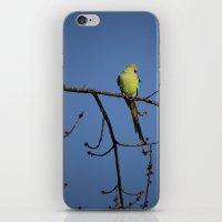 Alexandrine Parakeet iPhone & iPod Skin