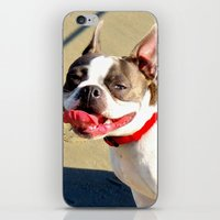 Portrait of a Boston Terrier iPhone & iPod Skin