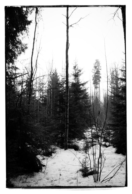 NORWEGIAN FOREST X Art Print