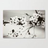 Cherry Blossoms (Black A… Canvas Print