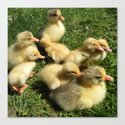 little goslings wildlife and ducklings in the meadow Canvas Print