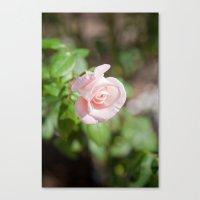 Little Pink Rose Canvas Print