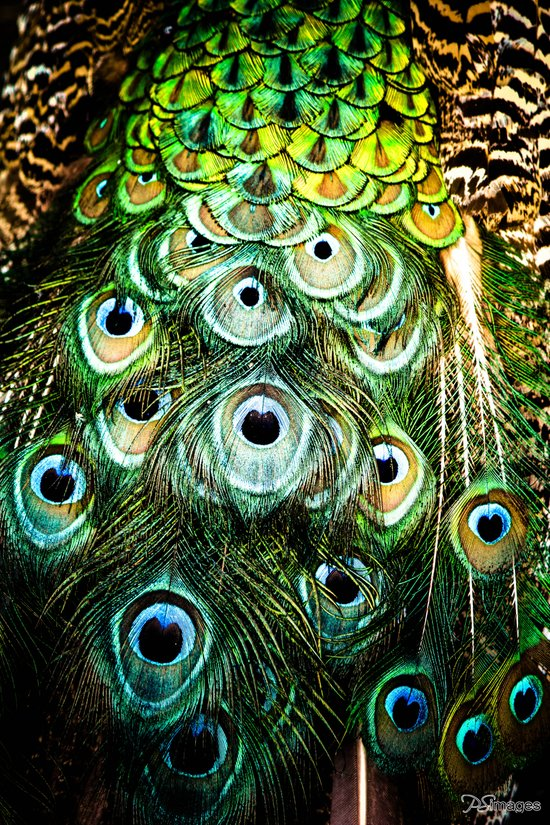 Feathers of a peacock  Canvas Print
