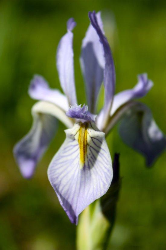 Wild Iris 2 Art Print