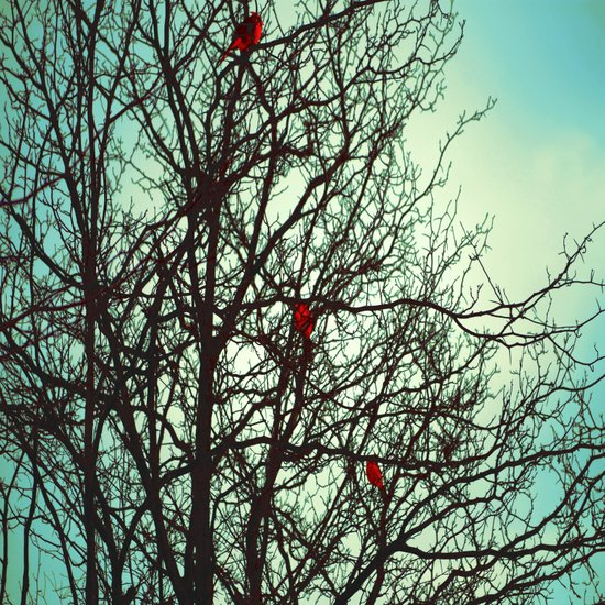 Cardinals in Winter Branches Art Print