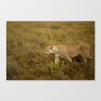 Lion in the wild. Canvas Print