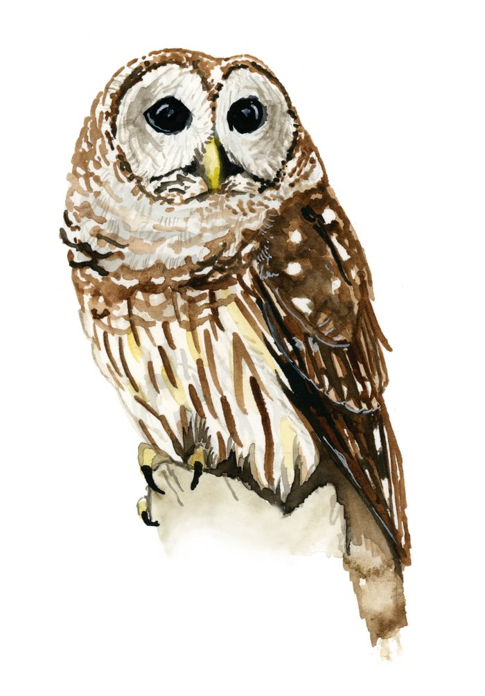 It's just a picture of Magic Barred Owl Drawing