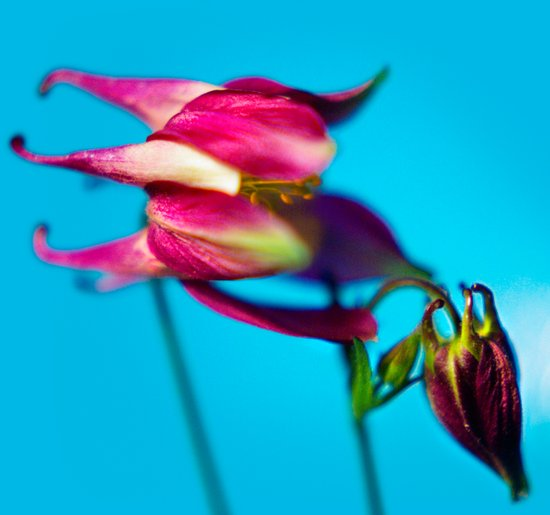 columbine pair Art Print