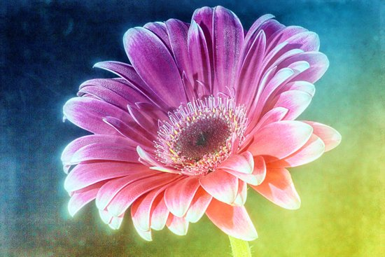 The Gerbera Rainbow Art Print