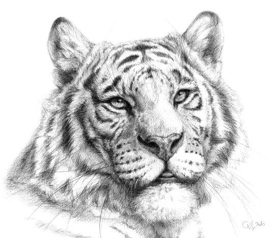 Tiger G081 Canvas Print