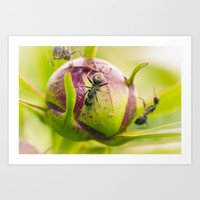 Ants Working On A Peony … Art Print