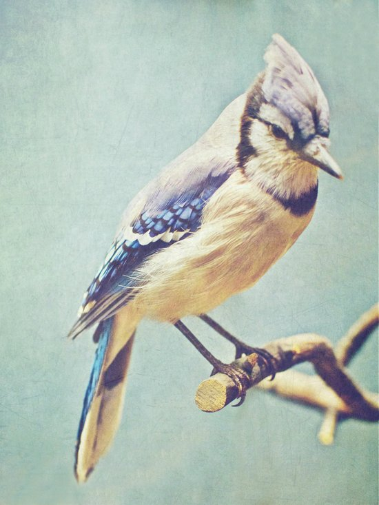 Virginia Bluejay Art Print