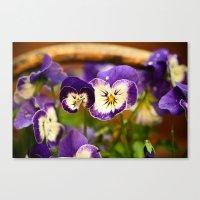 Viola - color Canvas Print