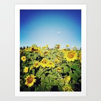 sunflower fields Art Print