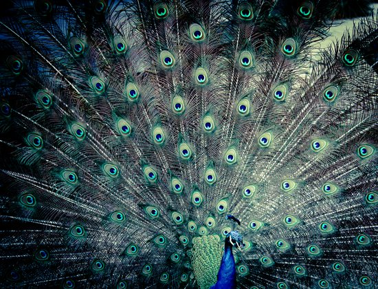 His Feathered Majesty Art Print