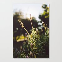Lavender No. 2 Canvas Print