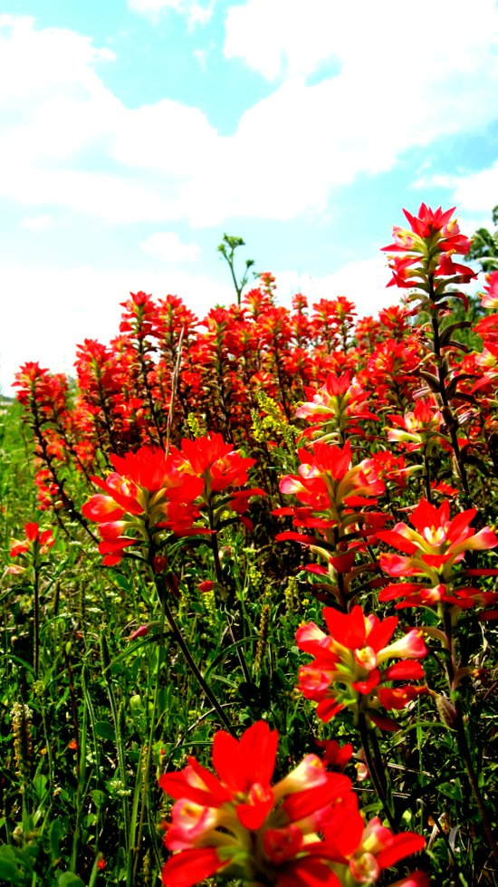 Indian Paintbrushes Canvas Print