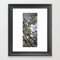 Prunus Domestica Framed Art Print