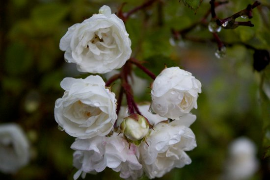 white miniature roses Art Print