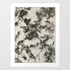 Vintage Apple Botanical Art Print