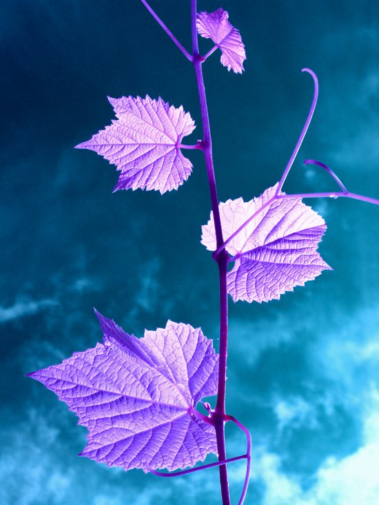 violet wine leafs II Canvas Print