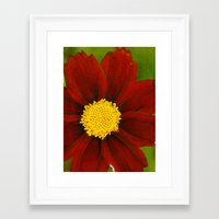 Ruby Coreopsis Framed Art Print