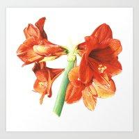 AMMARYLLIS Art Print
