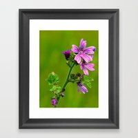 Common Mallow (Cheesewee… Framed Art Print