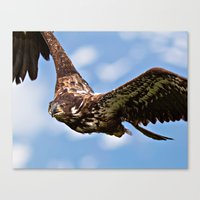 Flying Immature Bald Eag… Canvas Print