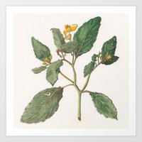 Impatiens Capensis Art Print