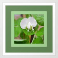 White Pea Blossom Art Print