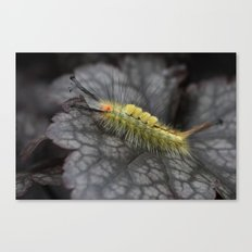 White Marked Tussock Caterpillar Canvas Print