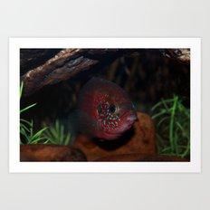 Jewel Cichlid- Red fish Art Print