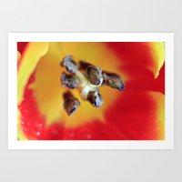 Tulip Rays Art Print