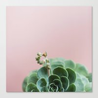 Echeveria On Pink Canvas Print