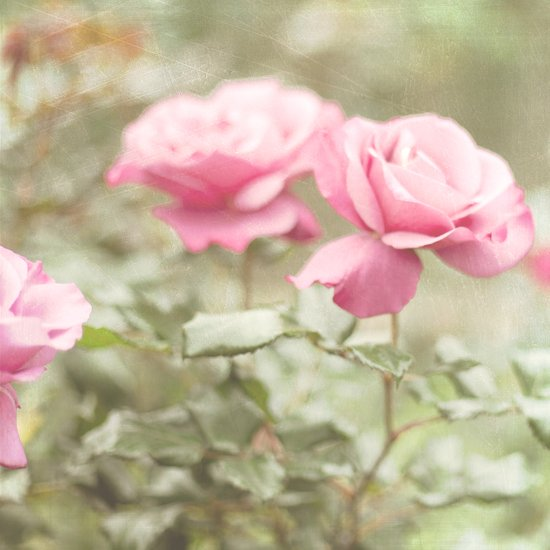 Textured and Pastel roses (vintage flower photography) Canvas Print